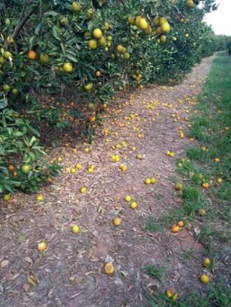 GRANBLACK Fertilizante Foliar Organomineral Premium Exemplo Antes Imagem 1