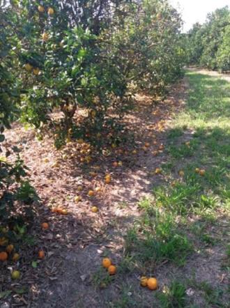 GRANBLACK Fertilizante Foliar Organomineral Premium Exemplo Antes Imagem 2