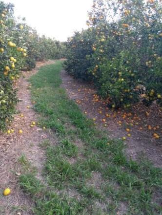 GRANBLACK Fertilizante Foliar Organomineral Premium Exemplo Antes Imagem 3