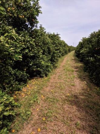 GRANBLACK Fertilizante Foliar Organomineral Premium Exemplo Depois Imagem 1