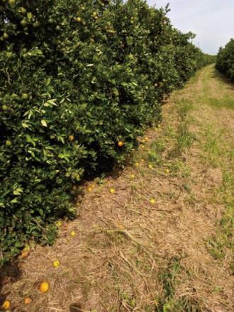 GRANBLACK Fertilizante Foliar Organomineral Premium Exemplo Depois Imagem 3