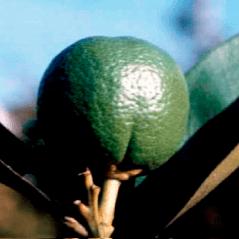 GRANBLACK Fertilizante Foliar Organomineral Premium Estágios Fenológicos da Laranja Crescimento dos Frutos