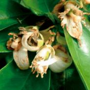 GRANBLACK Fertilizante Foliar Organomineral Premium Estágios Fenológicos da Laranja Queda das Pétalas