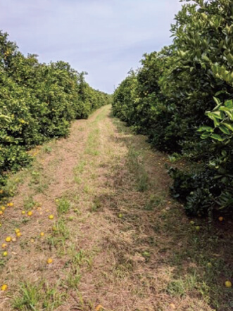 GRANBLACK Fertilizante Foliar Organomineral Premium Exemplo Depois Imagem 2