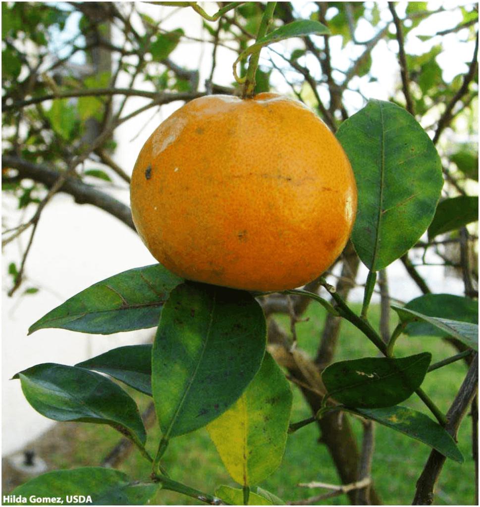 GRANBLACK Fertilizante Foliar Premium Greening O Super Guia Imagem de Fruto Afetado Pelo Greening