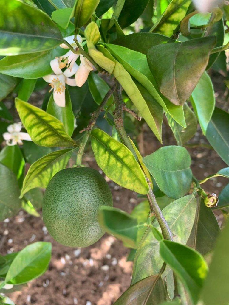 GRANBLACK Fertilizante Foliar Premium Greening O Super Guia Imagem de Planta de Citros Com Deficiência de Zinco Devido Ao Greening